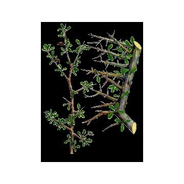Βιολογικό αιθέριο έλαιο μύρο 5ml – Primavera